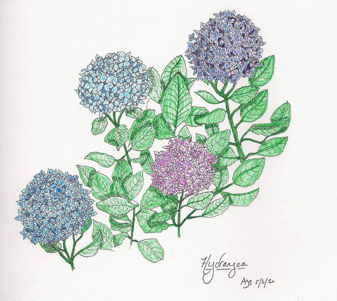 Hydrangea illustration by A. Burges