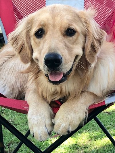 Riley, the Golden Retriever