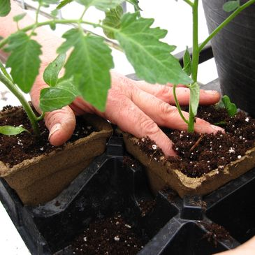 Tomato seedlings are transplanted into CowPots.
