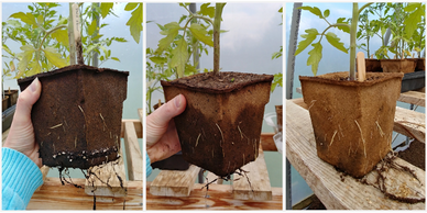 Comparing cowpots appearance from very wet to dry.