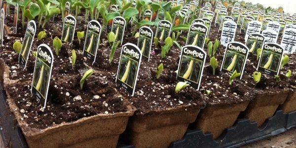 Summer squash and pumpkin seedlings started in biodegradable CowPots.