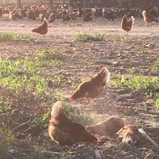 Our pastured hens .....