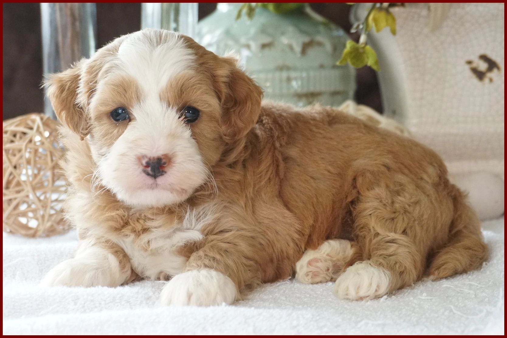 havapoo puppy poovanese havanese poodle toy poodle river view puppies puppies for sale iowa puppies