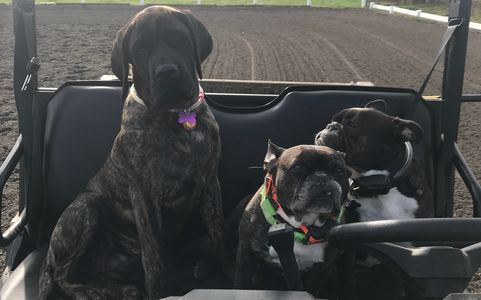 3 dogs in a Polaris