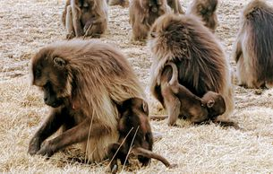Gelada Baboons in the Simien Mountains Ethiopian wolf Walia Ibex hiking trekking camping in Ethiopia
