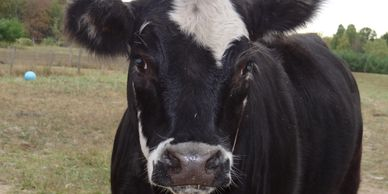 Moolan is one of two rescued cows residing at White Barn Healing Arts Center.