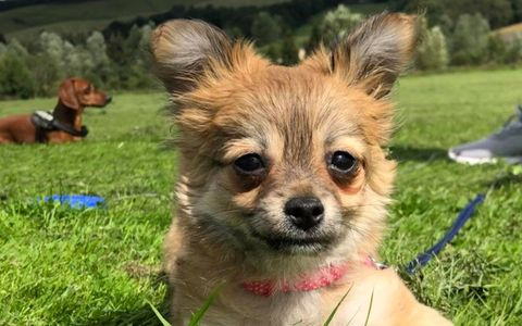 Cute Chihuahua, Puppy, dogs walking and sitting services in cardrona, peebles, scottland