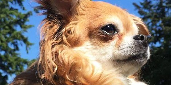 Cute Chihuahua, dogs walking and sitting services in cardrona, peebles, scottland