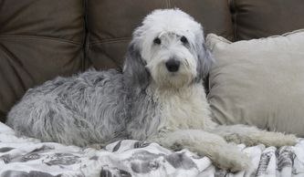 Old English Sheepdog (Maggie)