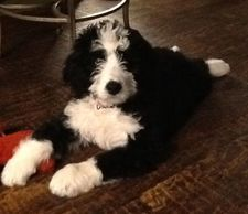 Example of black and white Bernedoodle...Current liter is first breeding, this is example only