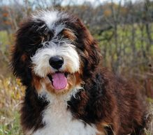 Example of a darker sable Bernedoodle. This is just an example to show the many different colors.