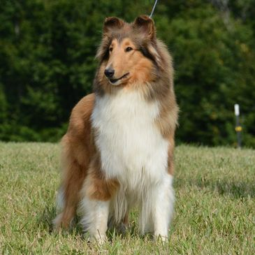 Collie Puppies for Sale - Palmhaven Collies