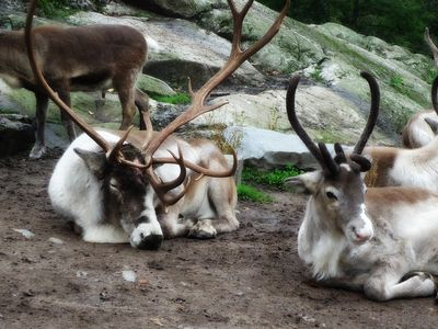 Reindeer in Northern Sweden. It was time for shedding velvet.