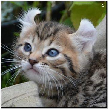 Highland Lynx Kittens for Sale - B-Dazzling Lynx