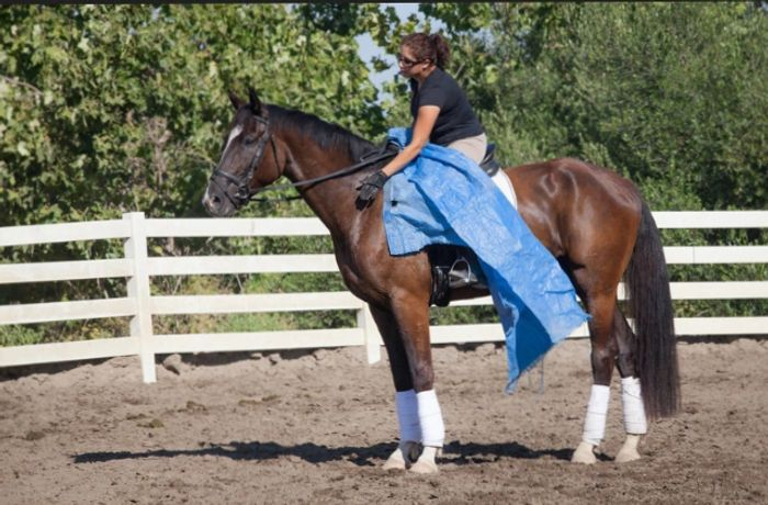Young horse with a tarp dressage