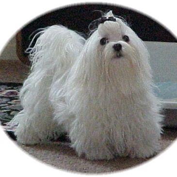 Breeder - SawStar's Maltese Puppies
