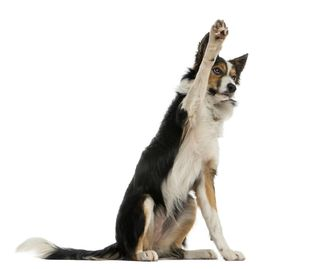 dog with paw up for beginner puppy classes