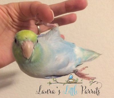 Turquoise Marbled Pastel Parrotlets for sale in Texas