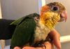 White bellied Caique 7 male reserved