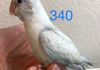 Parrotlet: Turquoise Marbled $275