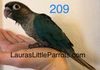 Green cheek: Available Turquoise female $350 (spit dilute)