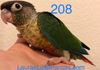 Green cheek: Yellowside female $350 Reserved for Alexis