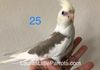 Creamface Cinnamon Pied female- Reserved