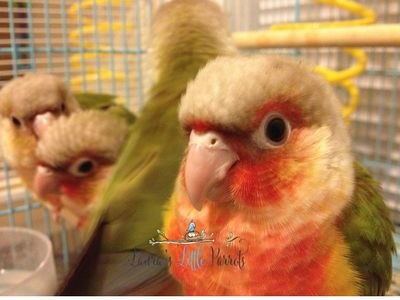 Pineapple green cheek conures for sale in Texas