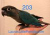 Green cheek: Turquoise male $350 Reserved