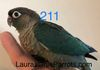 Green Cheek: Available Turquoise female $350 (split dilute)