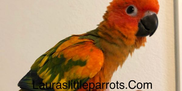 Red factor sun conure in Texas