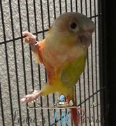 Dilute Yellowside green Cheek Conure