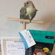 Mint Green Cheek Conure for sale