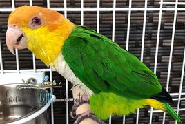 Lime Thigh Caique for sale