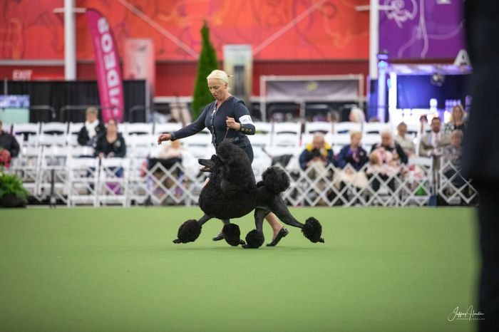 Top-winning black standard poodles and standard poodle puppies