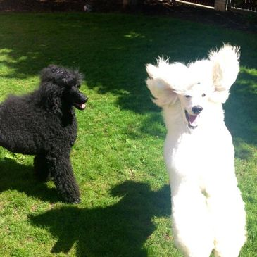 Bar-None Poodles - Standard Poodle Puppies, Standard Poodle