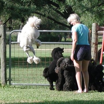 Bar-None Poodles - Standard Poodle Puppies, Standard Poodle Breeder