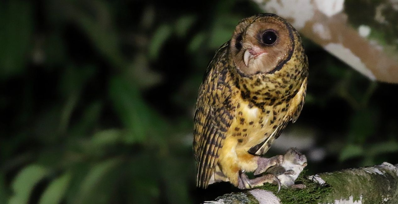 Golden Masked Owl an endemic to New Britain Photo: Josh Bergmark Birdwatching in Papua New Guinea