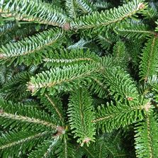 Fraser Fir two color needles Barclay's Tree Farm Choose and Cut Christmas Trees Cranbury, NJ