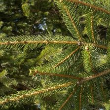 Norway Spruce Needle Close Up Barclay's Tree Farm Choose and Cut Christmas Trees Cranbury, NJ