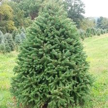 Picture of full Douglas Fir Tree Barclay's Tree Farm Choose and Cut Christmas Trees Cranbury, NJ