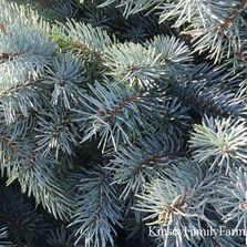 Up close with the Blue Spruce's sharp needles Barclay's Tree Farm Choose and Cut Christmas Trees