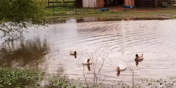 Ducks in our pond on our farm.