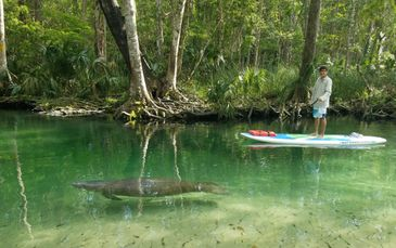 SUP and Manatee in Nature