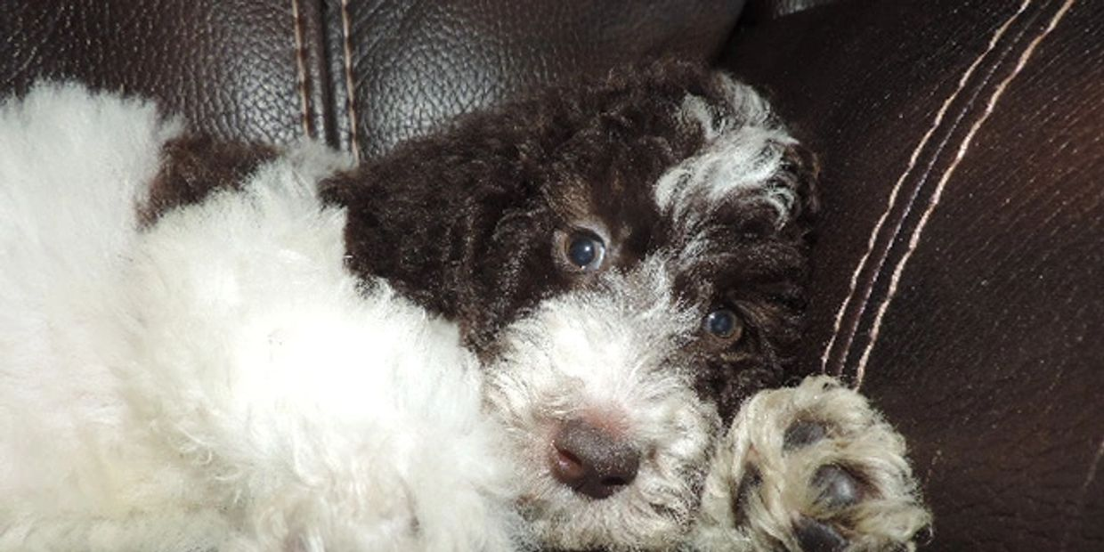 Shannon's Shamrock Kennels - Shepadoodle, Labradoodle, Doxiepoo