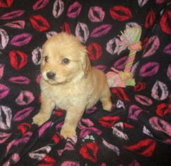 goldendoodle puppies for sale near me F1 mini goldendoodle F1B mini goldendoodle doodle puppies