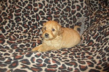 goldendoodle puppies for sale near me F2 mini goldendoodle F1B mini goldendoodle doodle puppies