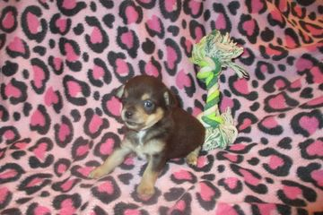chihuahua puppies for sale near me chihuahua teacup merle longcoat chihuahua breeder