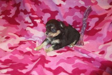chihuahua puppies for sale near me chihuahua teacup merle longcoat airline cred