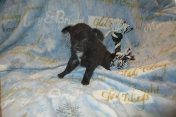 chihuahua puppies for sale near me chihuahua teacup merle longcoat airline credit